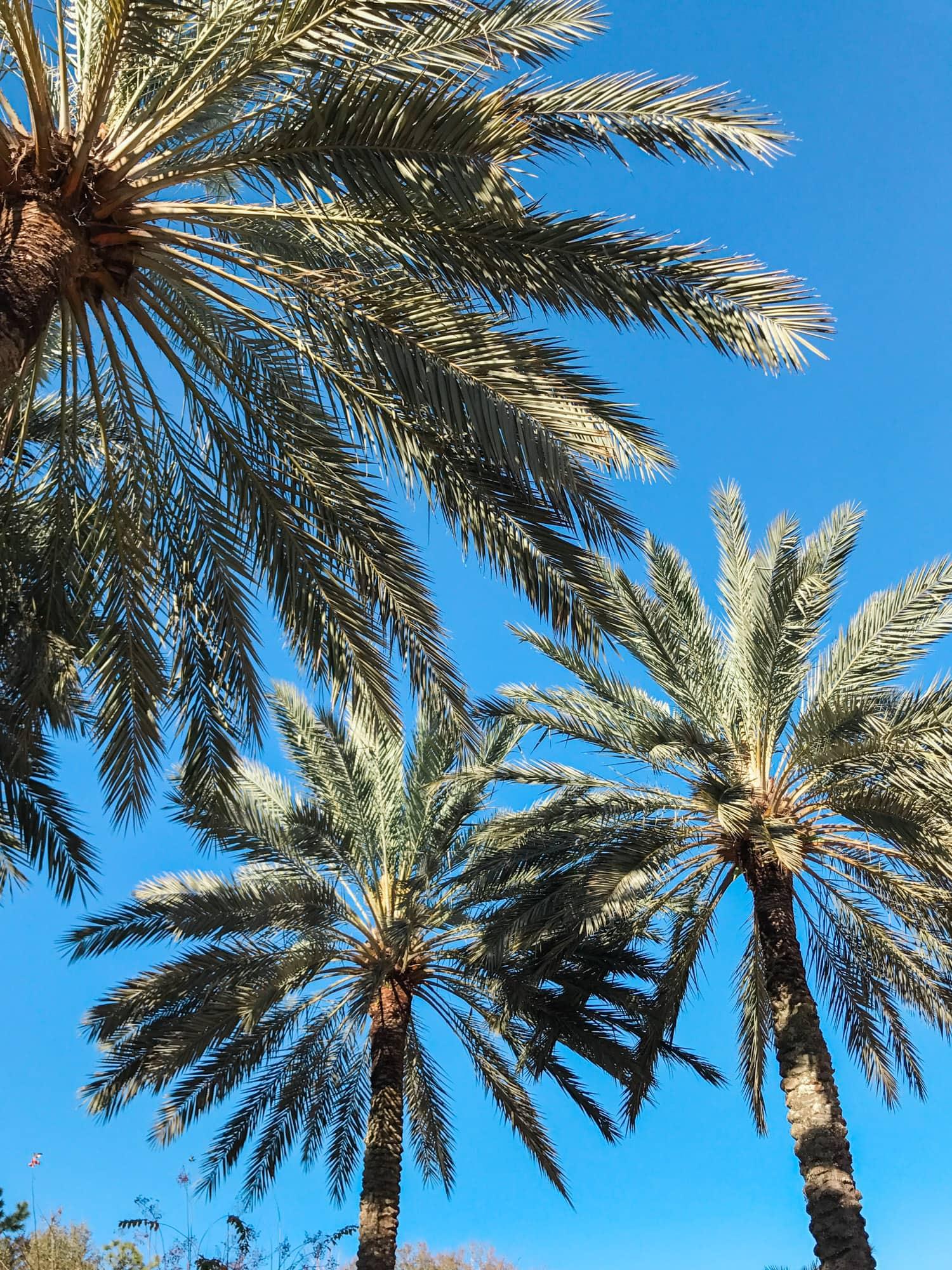 Florida palm trees Portofino Bay Resort Hotel Orlando Florida review